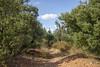 Olive Walk (eskippyskip) Tags: olive olives andalucia torremolinos spain españa paths