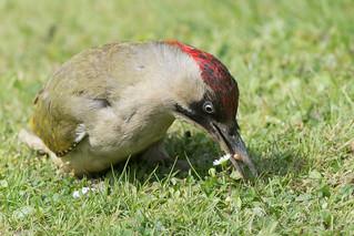 Green Woodpecker-123