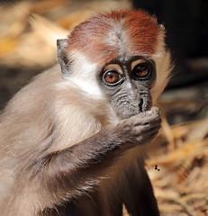 redcap mangabey Apenheul BB2A9204 (j.a.kok) Tags: mangabey redcapmangabey roodkopmangabey animal aap africa afrika mammal monkey mensaap primate primaat zoogdier dier apenheul