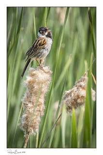 Reed Bunting on a reed making itself heard