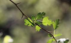 Chutttt !! Écoute !!! (Callie-02) Tags: bois printemps branche piquante épine profondeurdechamp canon macrographie macro bokeh nature extérieur forêt détails ombres transparence lumière vert verdure plante arbre feuille
