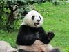 Happy panda Bei Bei (heights.18145) Tags: visitthezoo national zoo washingtondc animals pandas fun cute bamboo beibei tiantian meixiang