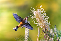 Eastern Spinebill hovering (jan_clewett) Tags: bokeh color fast flying brown early colour small morning wildlife flight hovering bird hover black animal honeyeater bif white grevillea yellow geham australia queensland southeastqueensland darlingdowns canon5dmarkiv easternspinebill nature natural blur flower tree green flowers light garden