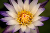 Multi-Colored Lily 3-0 F LR 6-13-18 J176 (sunspotimages) Tags: flower flowers waterlily waterlilies multicolored lily lilies multicoloredlily multicoloredlilies multicoloredwaterlily multicoloredwaterlilies nature multicoloredflower multicoloredflowers