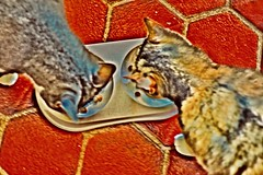 Dining Companions (Victoria T Hunt) Tags: cats calico tabby food friends chow