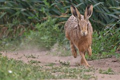 Brown hare (Lepus europaeus) Romney Marsh Kent (2) (GrahamParryWildlife) Tags: fast speed run marsh romney europaeus lepus hare brown kent dungeness romneymarsh kentwildlife grahamparrywildlife top graham parry animal outdoor sigma 150600 sport 150 600 canon 7d mkii depth field mk2 uk rspb viewing photo flickr new sunlight dof green sun light focus tiny wildlife red evening alert stare resting unusual grass