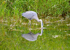Gotcha! (Neal D) Tags: greatblueheronnaturereserve bc chilliwack bird heron greatblueheron ardeaherodias