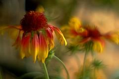 Gaillardia (frankoly) Tags: gaillardia fuji carl zeiss jena biotar flores primavera flowers