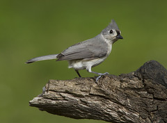 Tufted Titmouse (AllHarts) Tags: tuftedtitmouse backyardbirds memphistn naturesspirit thesunshinegroup coth coth5 naturescarousel ngc npc challengeclubchampions