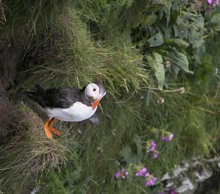 Puffin outside the burrow