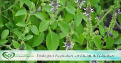Fesleğen (Feslikan) Bitkisinin Faydaları ve Nerelerde Kullanılır (MutluveSağlıklı) Tags: tulsi fesleğen feslikan sağlık beslenme