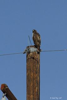 1.02876 Buse à queue rousse / Buteo jamaicensis calurus / Red-tailed Hawk