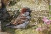 House Sparrow (Linda Martin Photography) Tags: dorset male wildlife nature bird birds sparrow passerdomesticus ferndown uk animal coth naturethroughthelens ngc npc a little beauty