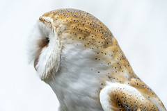 Owl's profile (Blende1.8) Tags: eule owl white weiss profil profile whiteonwhite federn federkleid plumage feathering bird animal sony a6300 alpha 6300 ilce6300 sel18135 18135mm emount carstenheyer animals explored exlpore