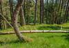 Wood Blast (prajpix) Tags: wood woodland forest pinewood plantation pine pines cairngorms highlands scotland invernesshire green understorey verdant trunks blast blow curve bent