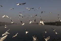 Winter Yamuna River at Delhi 4 (Sauvik.Acharyya) Tags: birds cityscape delhi environment india jamuna morning nature people photography places pollution river sauvikacharyya seagull water winter yamuna boat flying food photojournalism profession
