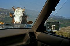 Corse 1998 (Joseff_K) Tags: corsica コルシカ語 korsika корсика córcega קורסיקה korsyką córsega كورسيكا diapositive leica film inversible ektachrome leicacl kodakektachrome100 100asa vache car cow voiture ramblingcow vachedivagante retroviseur rearviewmirror
