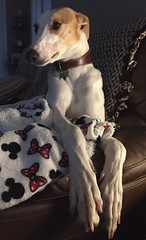 Chilled (@JohnA390) Tags: home sheldon lurcher iphone pet dog hound