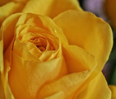 The last set, of the beautiful yellow roses!😁❤ (LeanneHall3 :-)) Tags: yellow rose rosepetals flower flowersarefabulous flowersarebeautiful flowerflowerflower closeup closeupphotography macro macrophotography canon 1300d