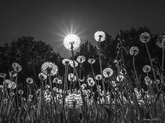 Old Dandelions (janne.skei) Tags: dandelion sunlight old sky flowers dandelions bw blackandwhite light art beautiful background blossom flower grass glorious wildlife lovely magic moment nature norway ngc nostalgic nice neighborhood outdoor olympus peace plant raw sun sunshine surnadal sunset theunforgettablepictures trees upsidedown evening wild
