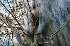 It wasn't Christo, but the ermine moth (ramerk_de) Tags: hdr regensburg thaumetopoeaprocessionea moth whitesilk nature danube butterfly caterpillar oak