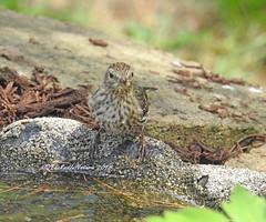 Pine Siskin (carolinawren2) Tags: pinesiskin siskin passeriformes fringillidae ohio backyard birding birds