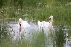 """swans • <a style=""""font-size:0.8em;"""" href=""""http://www.flickr.com/photos/157241634@N04/27840715037/"""" target=""""_blank"""">View on Flickr</a>"""