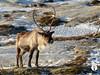 IMG_1508.jpg (GregStern) Tags: cervidés norvège artiodactyles europe renne mammifères artiodactyla caribou cervidae mammalia mammals no nor norway rangifertarandus reindeer troms