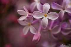 Lilacs (gvonwahlde) Tags: arboretum lilacs flowers purple shallowdepthoffield minnesota minnesotalandscapearboretum spring canon canon6d macro