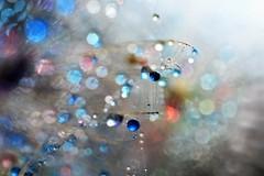 ..... (agnescsoor) Tags: dandelion dandelionseed drops droplets drop danedelionseed abstract macro colors colorful colorfuldrops color bokeh light beyondbokeh backround sparkle