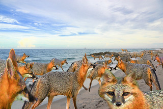 Beach Fox Tales