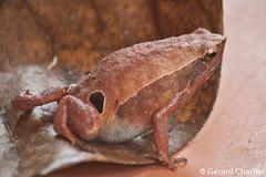 Kalophrynus interlineatus (Striped Sticky Frog) (GeeC) Tags: amphibia animalia anura cambodia chordata frogstoads kalophryninae kalophrynus kalophrynusinterlineatus kohkongprovince microhylidae microhyloidea narrowmouthedfrogs nature stripedstickyfrog tatai