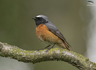 Redstart @ Padley Gorge