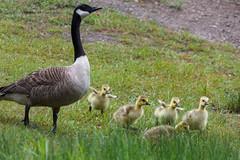 Goslings (Nicolas Bussieres (Lost Geckos)) Tags: gosling goose geese chicks