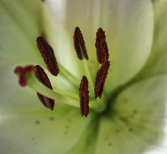 My enemy...pollen lol!😊😁😊 (LeanneHall3 :-)) Tags: flowersarefabulous flowerarebeautiful flowerflowerflower flowerscolors macrounlimited macroflowerlovers pollen lily white petals brown closeup closeupphotography macro macrophotography flower canon 1300d