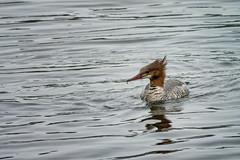 'Merganzer Mom' (Canadapt) Tags: merganzer duck bird spring mating nesting keefer canadapt