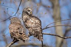 Mr. & Mrs. Barred Owl (NicoleW0000) Tags: barredowl owls birdofprey bird wild wildlife nature trees woods outdoor ontario canada