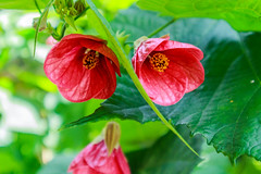 Abutilon (lauraknowles4) Tags: flowers garden flower abutilon red canon 1545mm