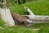South American Tapir (Tapirus terrestris) (Seventh Heaven Photography) Tags: south american tapir brazilian lowland anta tapirusterrestris tapirus terrestris omnivore nikond3200 chester zoo cheshire reflection water wood grass