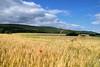 Un coquelicot perdu dans les blés (Croc'odile67) Tags: nikon d3300 sigma contemporary 18200dcoshsmc paysage landscape campagne cloud ciel nature nuage sky