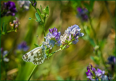 26 maggio 2018 (adrianaaprati) Tags: nature outdoors flowers colors purple green may spring macro viciasativa bunches butterfly
