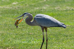 Down the hatch (Bruce Bugbee) Tags: horton michigan unitedstates us blue heron fish eating lake bird feeding blueheron