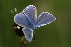 Male Common Blue (Chris*Bolton) Tags: malecommonblue commonblue commonbluebutterfly male insect insects macro summer nature wildlife flower rathdrum wicklow ireland