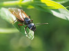 Schwarze Wegameise (Paramedix) Tags: lasiusniger insect insekt macro makro tier animal ameise ant wegameise