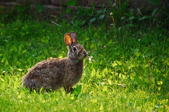 Premium Lawn Care Package (andrickthistlebottom) Tags: rabbit bunny animal rodent feral lawn grass nibble weeds dandilions mammal green