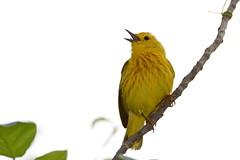 Yellow Warbler (JDA-Wildlife) Tags: birds nikon nikond7100 tamronsp150600mmf563divc jdawildlife johnny portrait closeup eyecontact warblers warbleryellow yellowwarbler