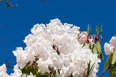 White flowers, blue sky (quinet) Tags: 2017 2018 blumen britishcolumbia canada ontario toronto vandeusen vancouver fleurs flowers 124