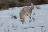 Mouser (Hammerchewer) Tags: coyote animal wildlife outdoor yellowstone