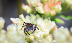 Evarcha proszynskii jumping spider (Xuberant Noodle) Tags: macro animal arachnid beautiful bug close closeup color colorful colour colourful columbia cute environment evarcha eye hills historical insect jump jumping life mini nature north northwest outdoor outdoors outside pacific park pnw pretty proszynskii small spider state tiny up vibrant wa washington west white wild wildlife yellow