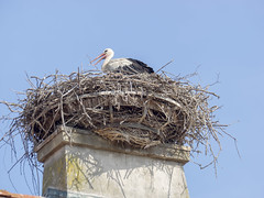P5310630 (turbok) Tags: tiere vögel weisstorchciconiaciconia wildtiere c kurt krimberger